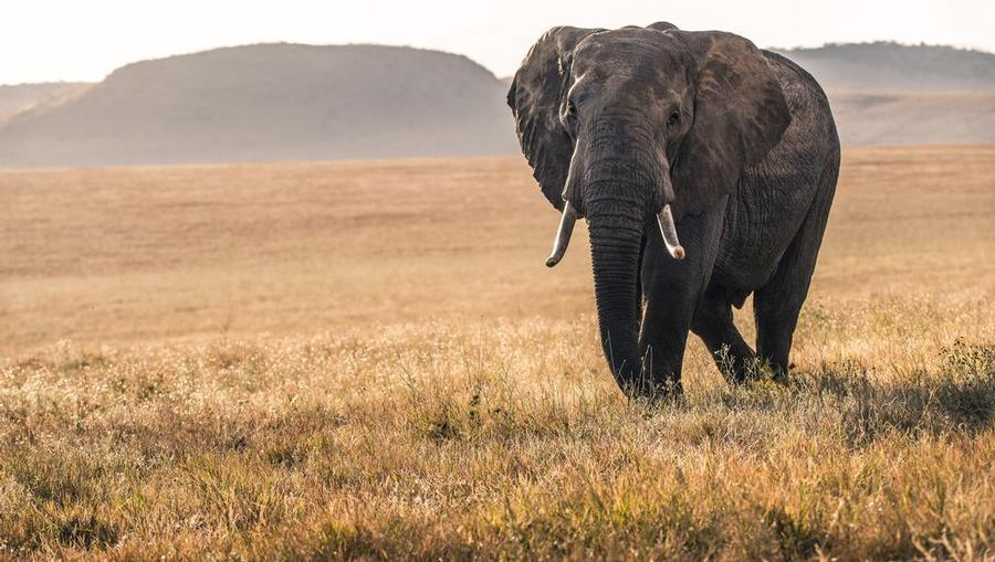 An elephant roams in Kenya, one of Crystal Cruises trending destinations